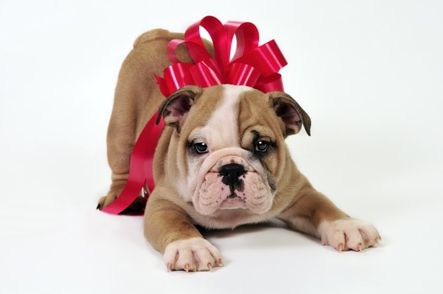 An adorable puppy wrapped up in a red gift bow