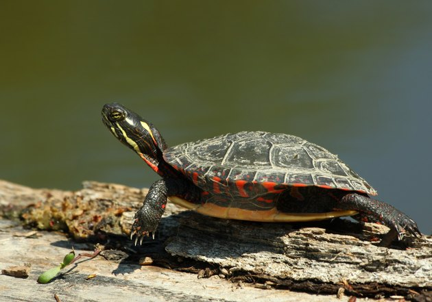 Painted turtle in spring