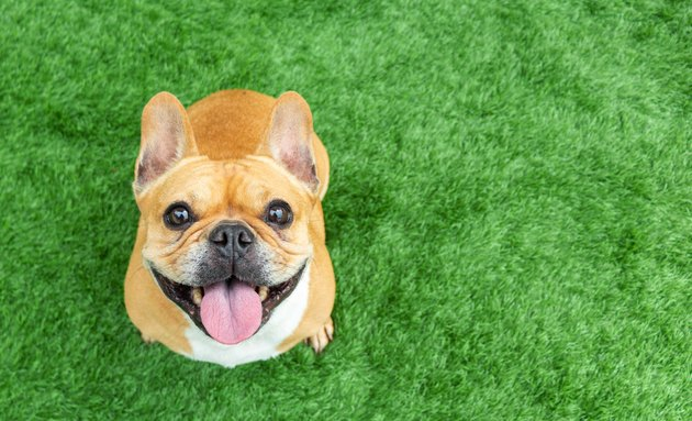 cute french bulldog sitting on grass and smiling at the camera