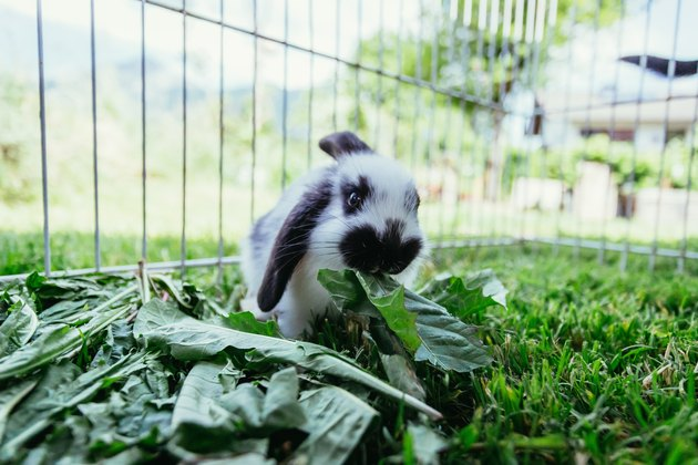 Cute little bunny is eating salad, outdoor compound, green grass