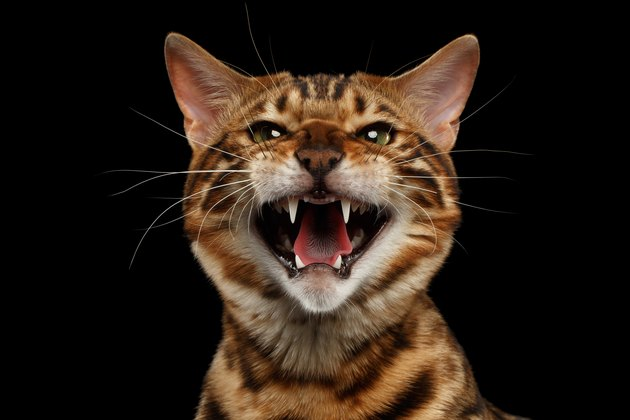 Closeup Portrait of Hissing Bengal Cat on Black Isolated Background