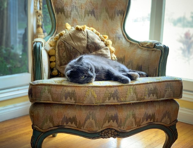 Scottish Fold cat relaxing on antique chair near window
