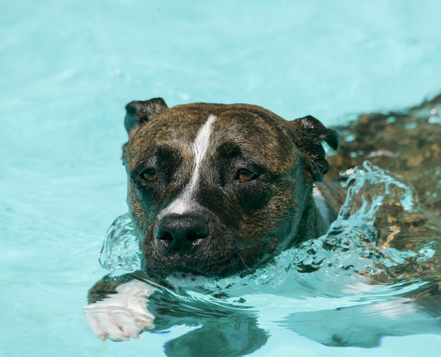 Brindle pit bull swimming in the pool