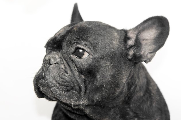 Portrait of black french bulldog with white background