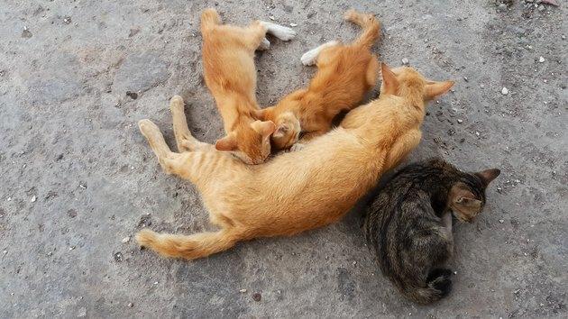 Mother cat nursing baby kitten