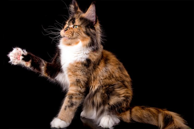 Big maine coon cat on black background.