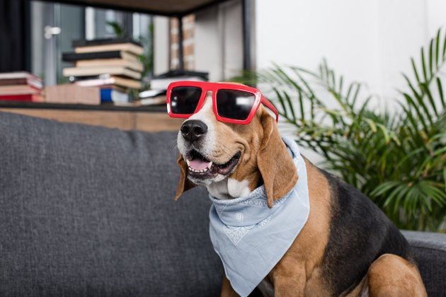 funny beagle dog in red sunglasses and bandana sitting on sofa