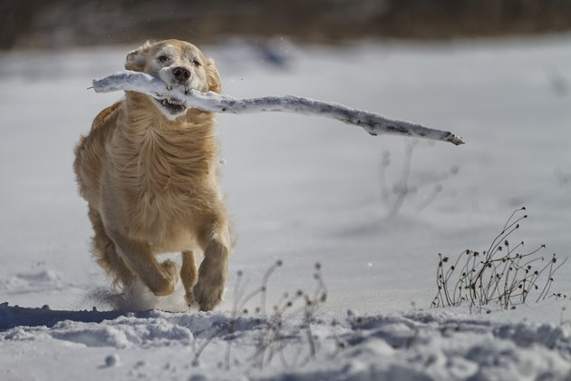 Golden retriever with branch running in snow