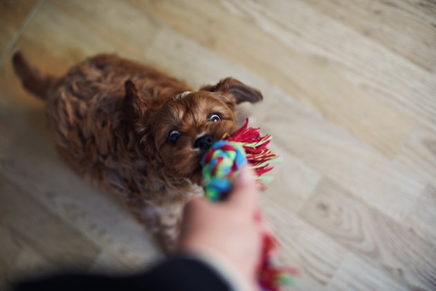 Puppy playing with a rope toy