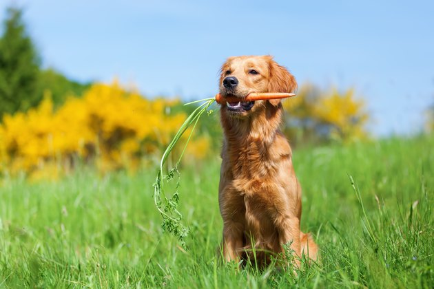 outdoor portrait of a young golden retriever holding a carrot in his mouth