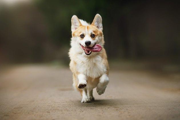 cute corgi dog running