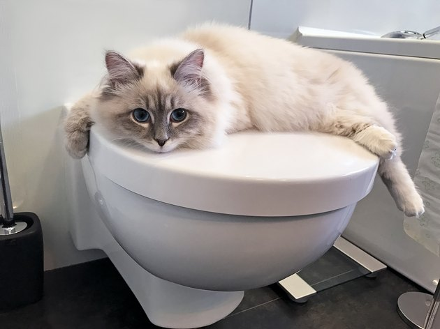 charming young white cat lying on the white lid of toilet inside bathroom