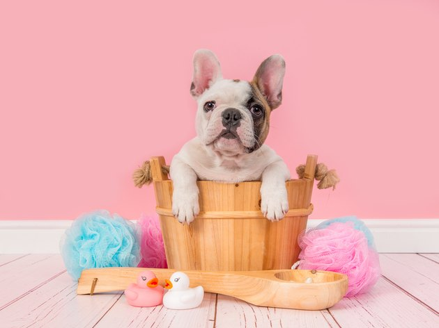 Cute french bulldog puppy in a wooden sauna bucket in a pink bathroom setting