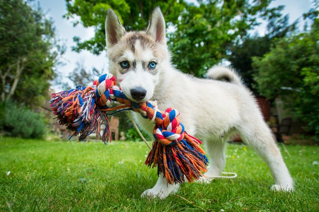 A Husky puppy with a toy