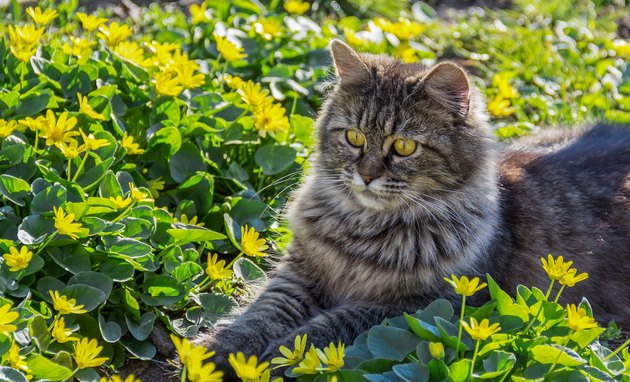 Portrait of fluffy gray cat. Cute cat in flower bed.