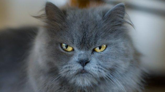 Portrait of a Grumpy Persian Cat