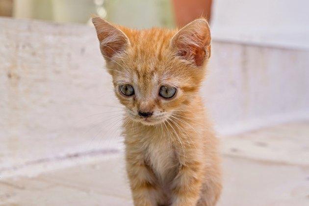 closeup carroty or rufous little fluffy kitten