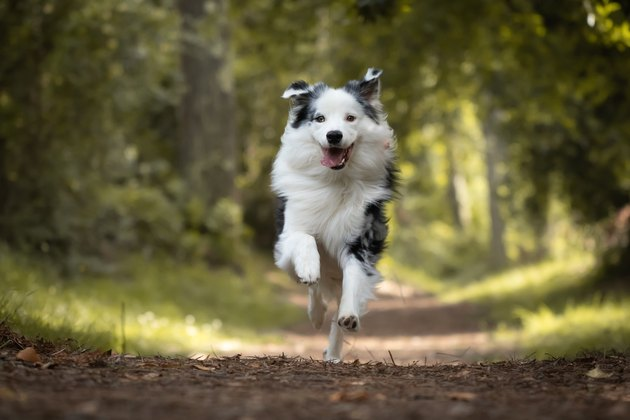 dog training in forest, australian shepherd running, looking at camera