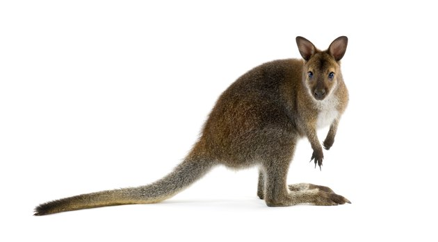 Brown wallaby looking at camera and isolated in white
