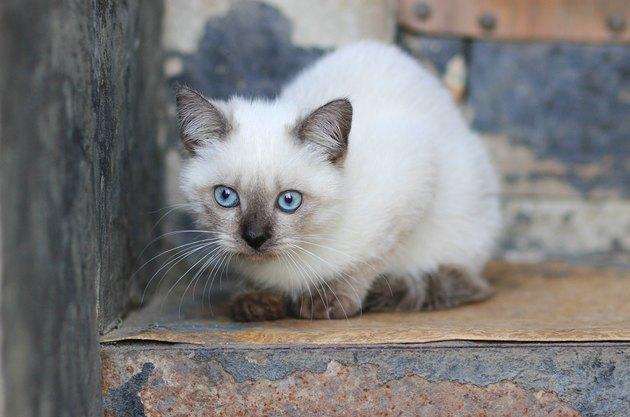 Portrait of white blue-eyed cat