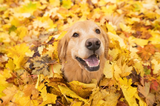 Golden Retriever Dog in Fall colored leaves