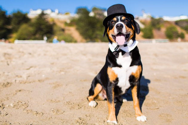 Dog wearing tuxedo costume on beach