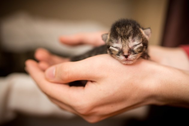 Hands holding newborn striped tabby kitten