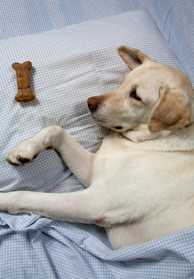 Yellow Labrador lying on bed with cookie on pillow, elevated view