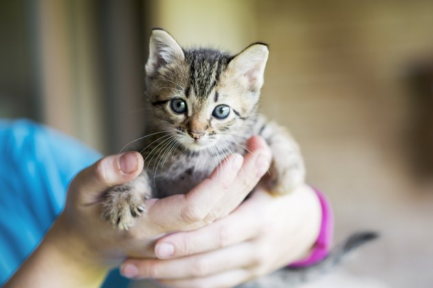 Kitten in human's hands