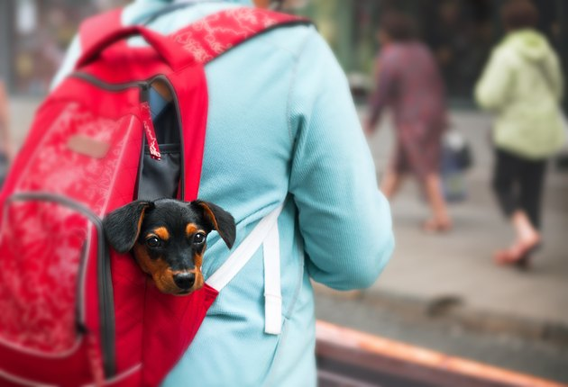 Puppy in tourist backpack.