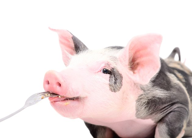 Portrait of a cute piggy who eats with a fork, isolated on white background