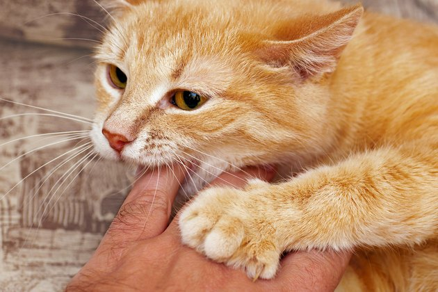 close-up of ginger cat biting hand