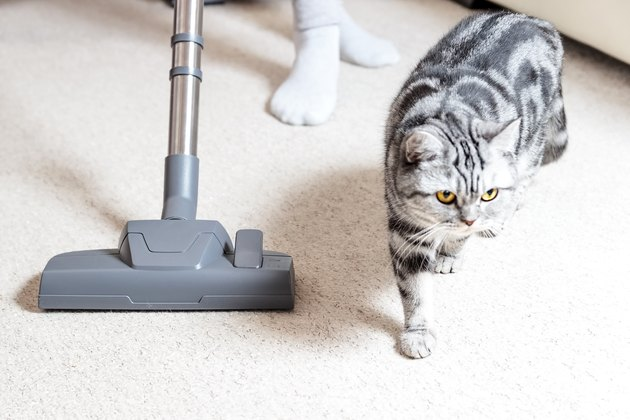 cat standing next to vacuum cleaner on carpet
