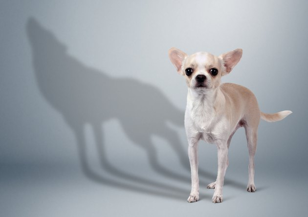 Chihuahua dog with wild wolf shadow, animal character concept