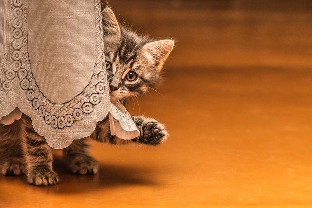 Cute kitten gray waving paw.