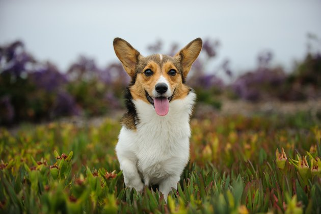 Pembroke Welsh Corgi Running in Field