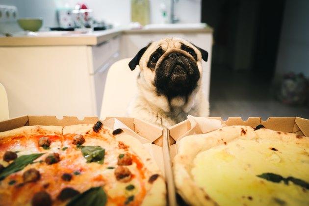 Dog waiting for pizza eating at home