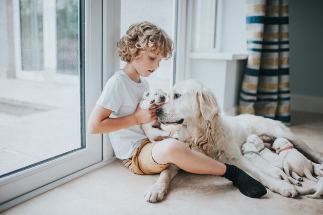 Young boy with Mother Golden Retriever and her Puppies