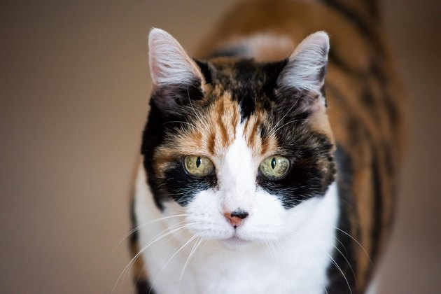 Senior calico cat closeup cute face portrait looking straight with funny expression, big green eyes, bokeh