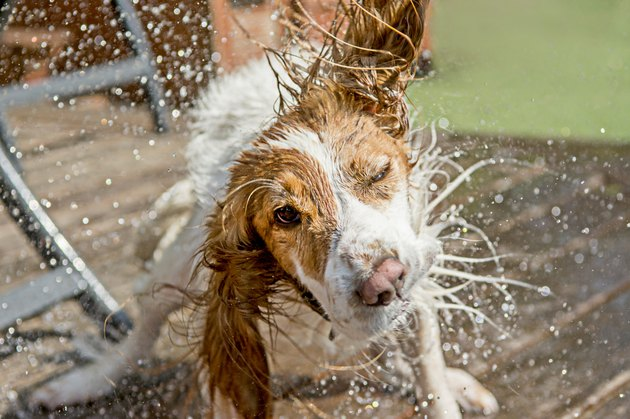 A cocker spaniel dog shaking off water