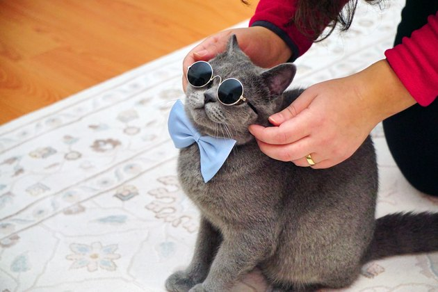 Cute British Shorthair cat with grey fur and amber eyes close up view with bowtie and goggles