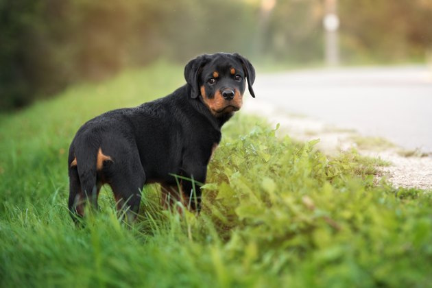 adorable rottweiler puppy outdoors