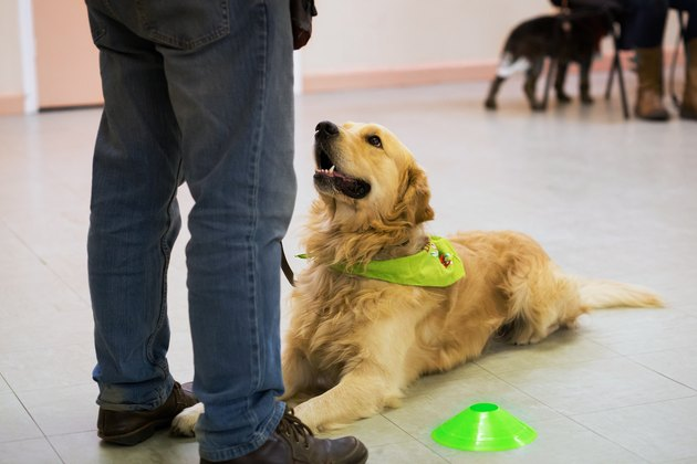 Handsome golden retriever working with owner, lying down. Green bandana on neck.