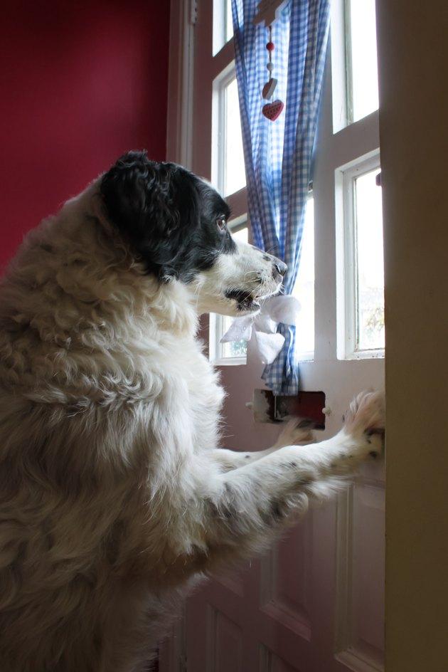 dog on guard at window