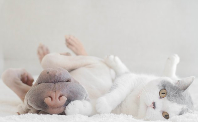Shar Pei dog and cat lying next to each other