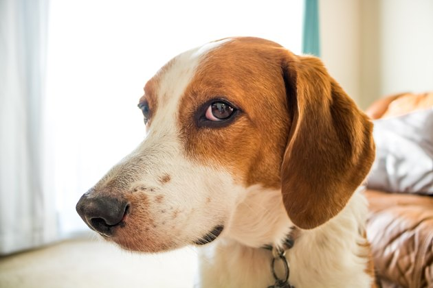 A Beagle hound mix looking at camera out of the side of his eyes