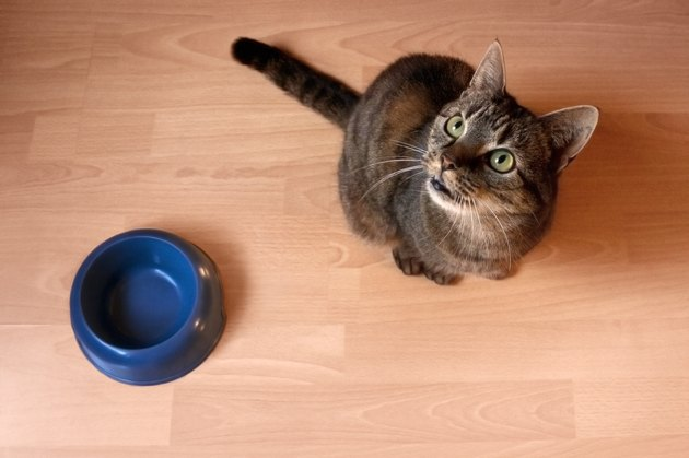 Cat waiting for food to be put in the bowl