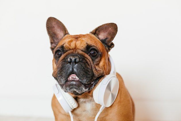 cute brown french bulldog sitting at home and looking at the camera. Funny dog listening to music on white headset. Pets indoors and lifestyle. Technology and music