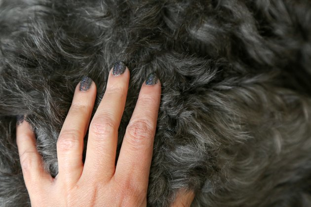 woman's hand with gray painted nails petting gray curly dog