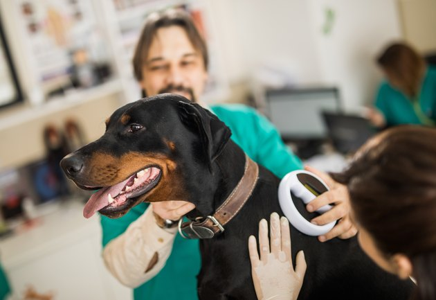 Veterinarians scanning Doberman's chip at animal hospital.